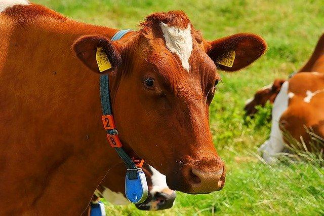 【畜産農業】世界に誇る和牛を作る、肉牛農家の仕事とやりがい