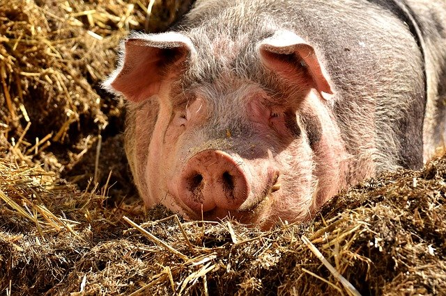 【畜産農業】デリケートな豚を育てる、やりがいのある養豚の仕事