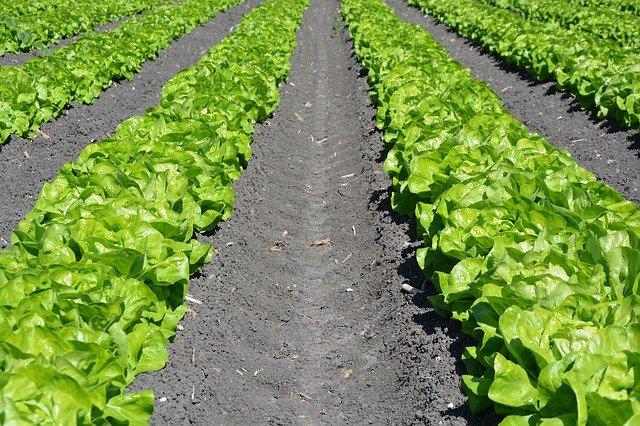 レタス栽培で注意したいこと